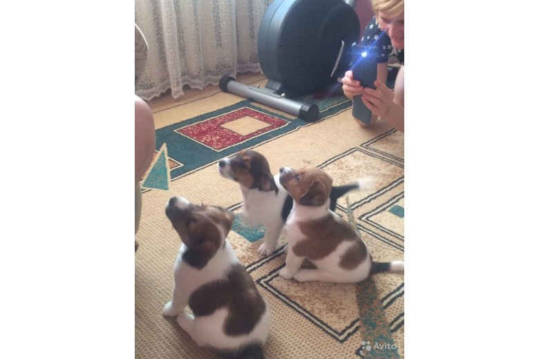 Джек Рассел терьер: фото, описание породы, отзывы, болезни, как выбрать щенка? | купить щенят в Новосибирске